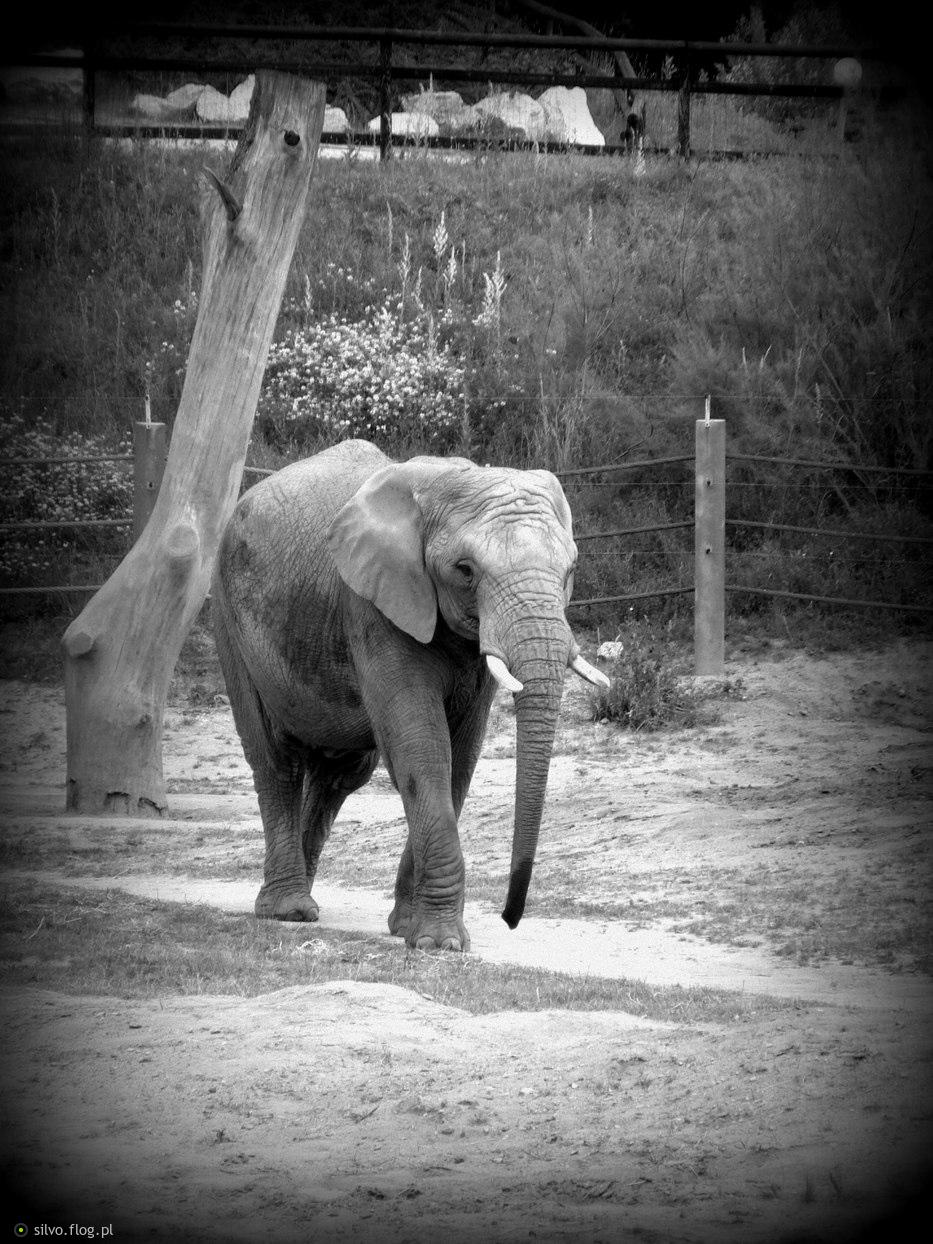 beztroskie życie słonia