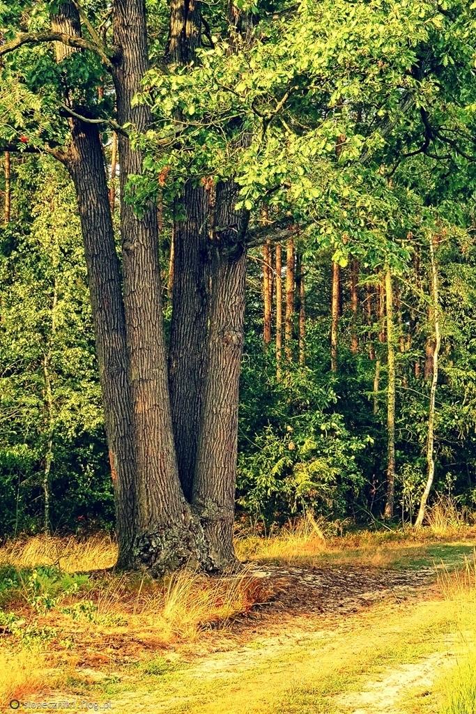 Bo las jest wielką miłością Twą ...