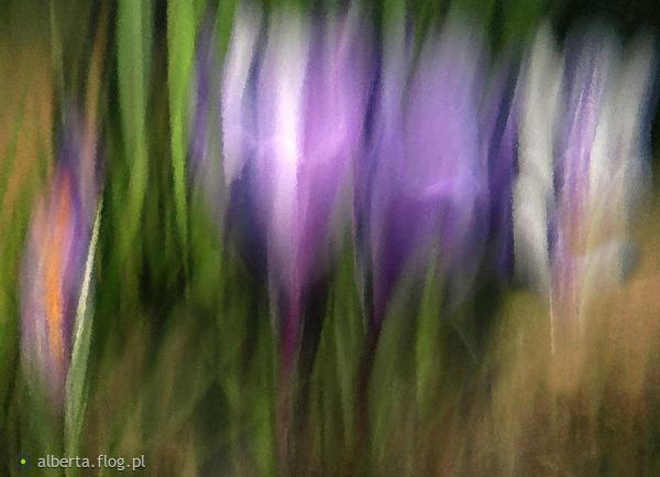 http://s13.flog.pl/media/foto_middle/9552360_malowane-obiektywem-kaziu--coraz-blizej-wiosny-krokusy-ode-mnie-z-pozdrowieniam.jpg