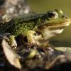mieszaniec (hybryda) żab<br />y jeziorkowej i żaby śmie<br />szki z grupy żab zielonyc<br />h